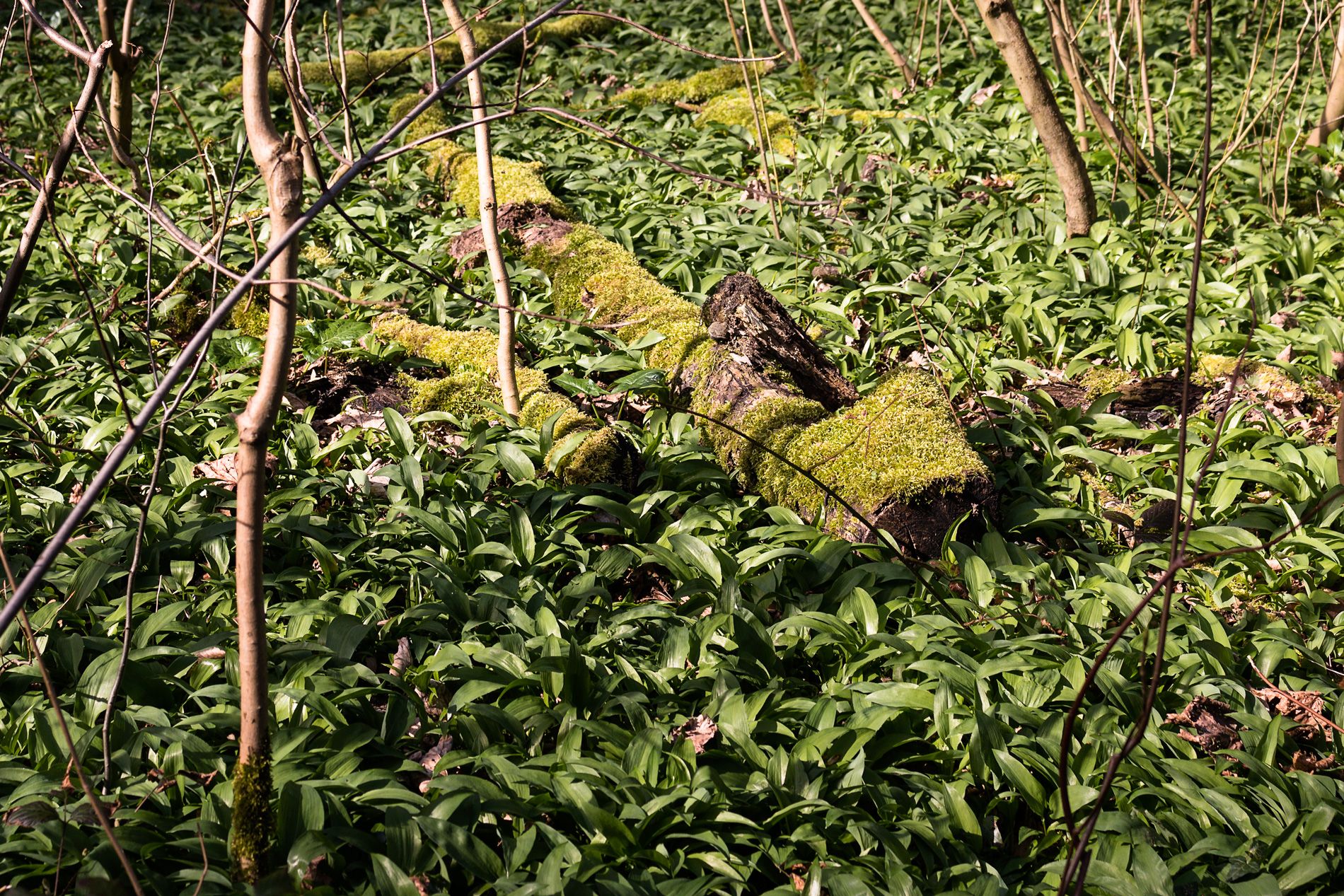 Bärlauchparadies